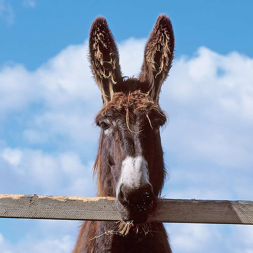 donkey-ears.jpg